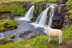 White sheep grazing near the waterfall Stock Images