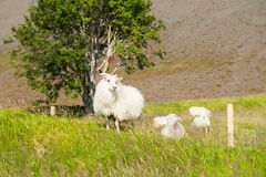 White sheep on the green field. Stock Images