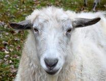 White Sheep on Green Grass Stock Photo