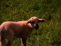 White Sheep on Green Grass Royalty Free Stock Photo