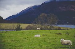 White Sheep on Green Grass Field stock images