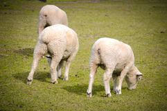 White sheep on green grass in sunny day, new zealand. Sheep farming is a significant industry in New Zealand. According to 2007 figures reported by the Food and Royalty Free Stock Photo