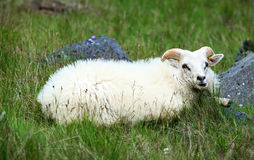 White sheep Stock Photo