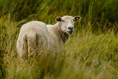 Sheep on green pasture. A white sheep on a green pasture stock photography