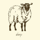 White sheep. Hand drawn vector illustration, white sheep Stock Images