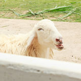 White sheep happy is smiling Stock Photography