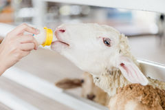 White sheep has been feeding milk. A hand feeding milk to a Stock Images