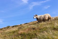 White sheep with horns grazing on summer hills against blue sky. White lamb running in filed. Pasture background. stock photography