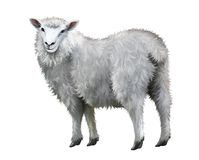 White sheep. Royalty Free Stock Photo