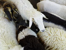 White sheep among its friends Royalty Free Stock Image