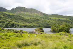 White sheep on the kerry way Stock Photography