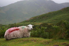 White Sheep in the Lake District Countryside sitting down. Royalty Free Stock Photo