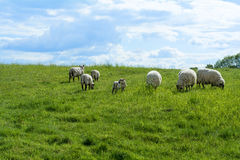 White sheep and a lamb on a green pasture under blue sky. Small flock of white sheep and a lamb on a green pasture under the blue sky with clouds Royalty Free Stock Photo