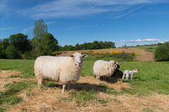 White sheep with lamb Royalty Free Stock Images