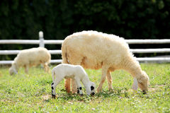 White Sheep and lamp eating grass in countryside farm, Thailand Stock Photo