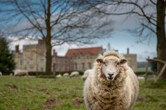 Sheep nearby the castle in Kent stock photography