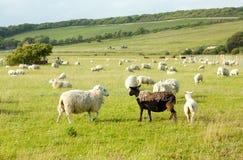 White sheep looking at ugly black sheep royalty free stock photos