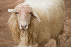 A white sheep looking at viewer Stock Photo