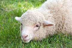 White sheep Stock Photography