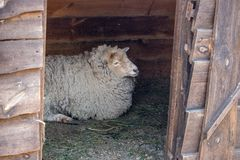 White sheep lying in wooden barn. Cute ewe with white wool. Cattle farm concept. Livestock background. Sheep portrait. Domestic animal concept royalty free stock images