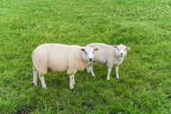 White sheep in a meadow Royalty Free Stock Image