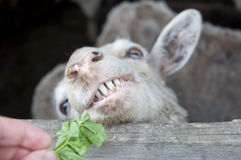 White sheep open teeth. Hollywood smile. Smile in all his teeth white sheep Stock Photo