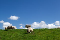 White sheep over sky Royalty Free Stock Photos