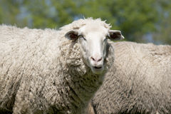 White sheep (ovis aries) Stock Photo