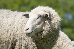 White sheep (ovis aries) Stock Images
