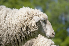 White sheep (ovis aries) royalty free stock photography