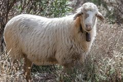 White Sheep Ovis aries close up with bell on neck. Roque Nublo. Area park. Canary Islands. Spain, Gran Canary royalty free stock photos