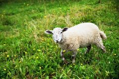 White sheep in pasture. royalty free stock image