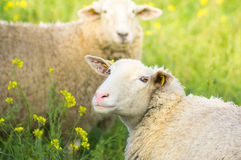 White sheep with pink nose , Portrait Royalty Free Stock Photography