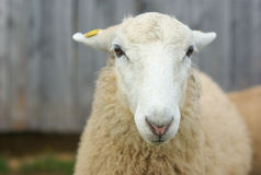 White sheep portrait face close up at the farm Royalty Free Stock Photo