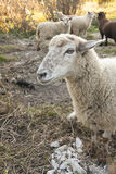 White sheep portrait Royalty Free Stock Photos