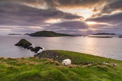 White Sheep and Slea Head landscape royalty free stock images
