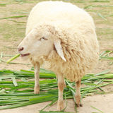 White sheep smile eating grass Stock Photo