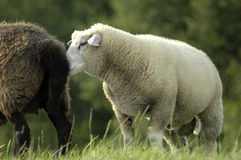 White sheep sniffing at black sheep´s tail end Stock Photos