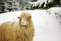White sheep in the snow Royalty Free Stock Image