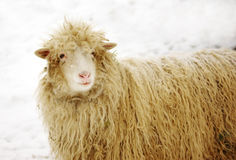 White sheep on the snow with pine. White ewe on the snowy background with pine needles in the fur royalty free stock images