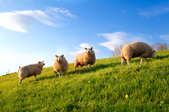 White sheep on spring sunny pasture Stock Images