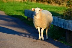 A white sheep on a street. A white sheep stand on the street in the evening sun stock images