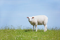 White sheep standing on the dyke and looking. Sheep standing on a seawall looking curiously into the camera, in the north of germany Royalty Free Stock Photos