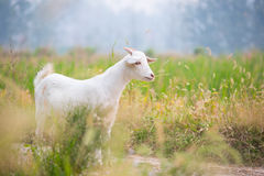 White sheep. A white sheep standing in the field royalty free stock image