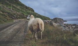 White Sheep Standing on Green Grass Near Sea royalty free stock photos