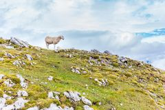 White sheep standing mountain summit. royalty free stock photography