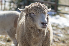 White sheep standing in pen Royalty Free Stock Photography