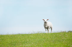White Sheep standing on seawall looking. Sheep standing on a seawall looking curiously into the camera, in the north of germany Royalty Free Stock Photos