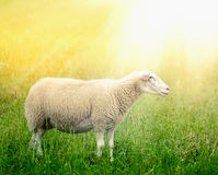 White sheep on sunny field Stock Images