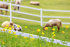 White sheep in sunny summer pasture and flower. White sheep farm in sunny summer pasture and flower stock photography